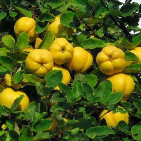 Айва яблоковидная Отличница