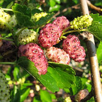 Шелковица розовая Мереживо