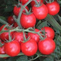 Семена томата детерминантного KS 910 F1(Kitano) 1000с