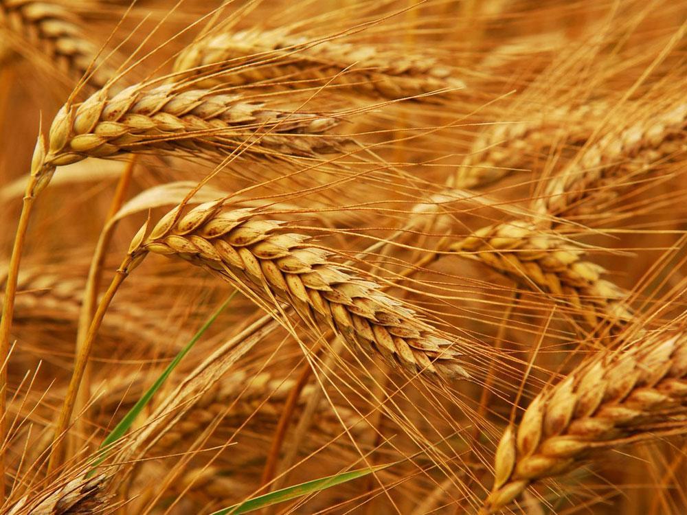 Насіння пшениці озимої Новосмуглянка (1 репродукція)