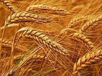 Насіння пшениці озимої Новосмуглянка (1 репродукція), фото 1