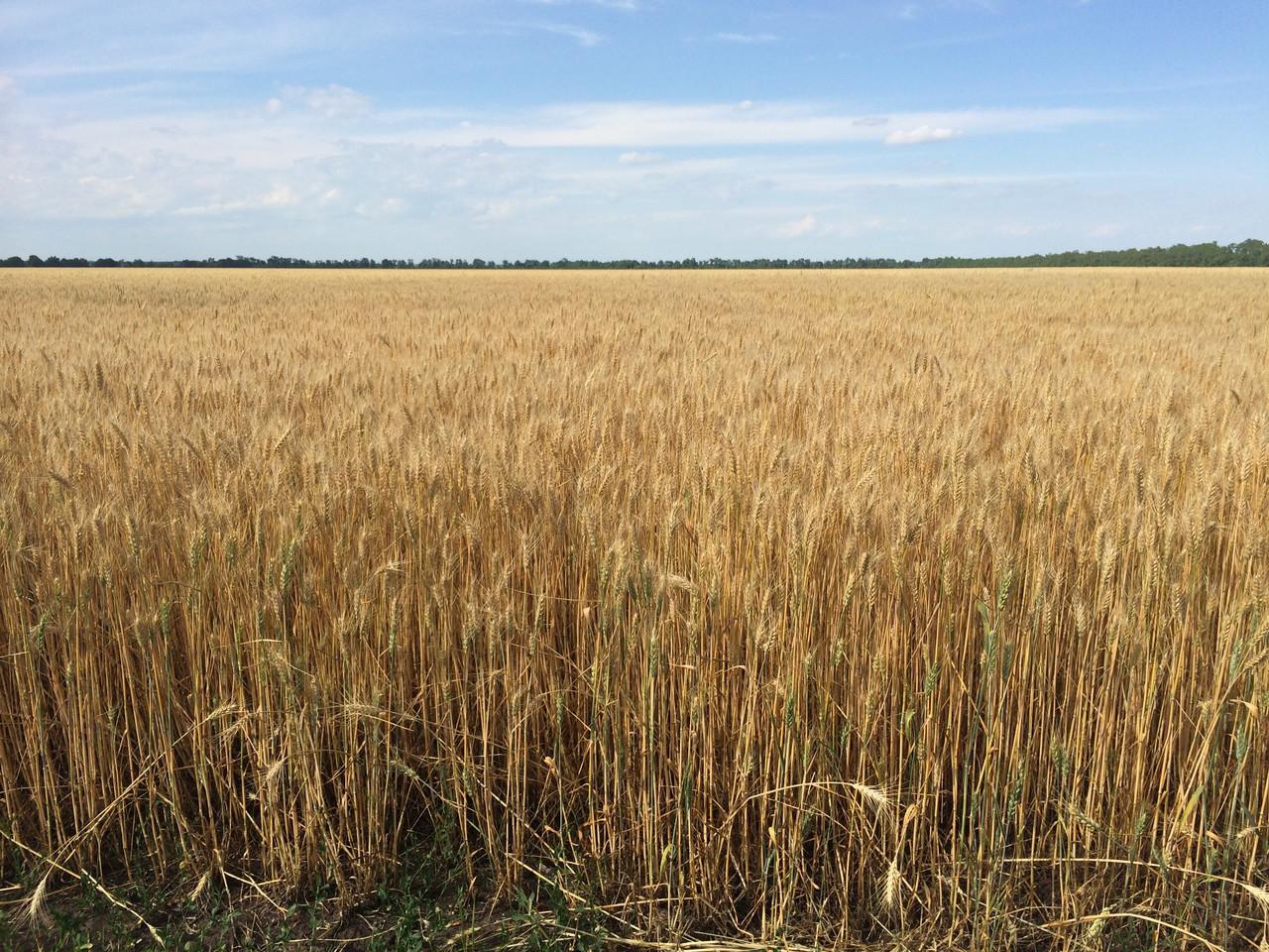 Насіння пшениці озимої Шестопалівка (1 репродукція)