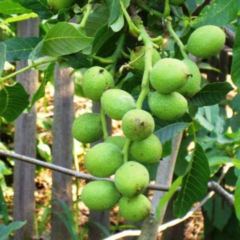 Грецкий орех Кочерженко - однолетние саженцы