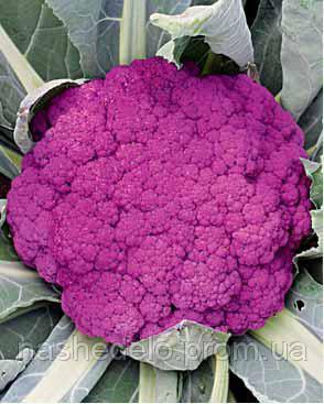 Семена цветной капусты Пурпурная Сицилийская 0,5 кг. Коуел