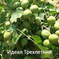 Саженцы грецкого ореха Идеал трехлетний
