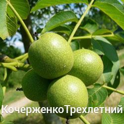 Саженцы грецкого ореха Кочерженко трехлетний