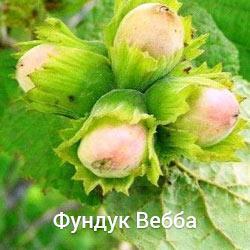 Саженцы фундука Вебба двухлетний (отводка)