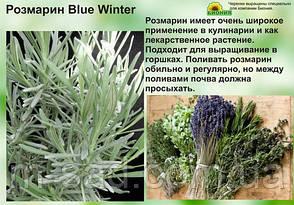 Саженцы Розмарин Синий, фото 2