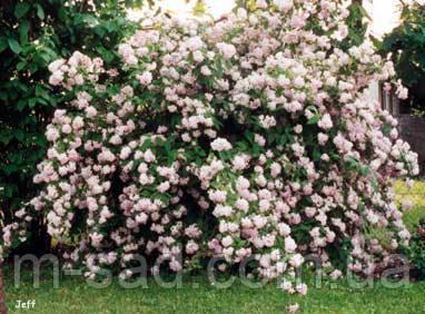 Саженцы Дейция Розовая