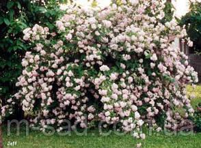 Саженцы Дейция Розовая, фото 2