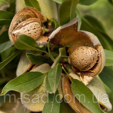 Саженцы привитого Миндаля Делон(плодоносит с 3 года,низкорослый,поздний срок цветения)), фото 2