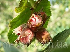 Саженцы фундука Бадиус(саженцы однолетние)
