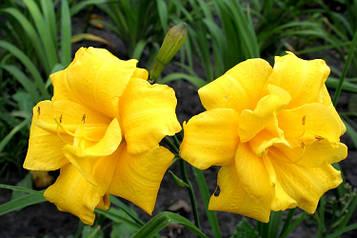 Лилейник Йеллоу Букет (Yellow Bouquet) карликовый