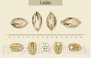 Саженцы Пекана Caddo (однолетний), фото 2