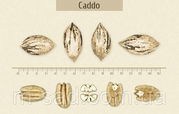 Саженцы ореха Пекан Кадо (однолетние), фото 2