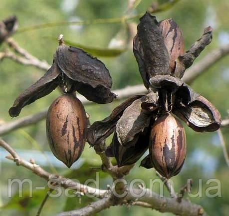 Саженцы ореха Пекан Мохав (однолетние), фото 2