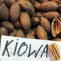 Саженцы ореха Пекан Киова (однолетние), фото 2
