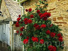 Саженцы плетистых красных роз