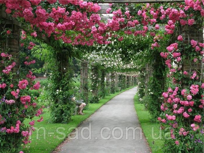 Саженцы плетистых розовых роз