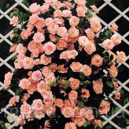 Саженцы плетистых розовых роз, фото 2