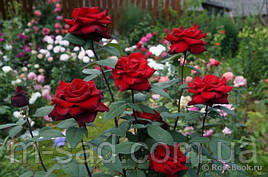 Розы разных сортов и цветений с цветами