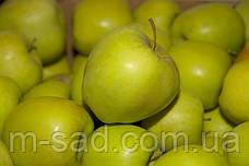 Саженцы яблони Мутсу(зимний,кисло-сладкий,повой(ММ106), фото 3