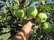 Саженцы яблони Мутсу(зимний,кисло-сладкий,повой(ММ106), фото 2