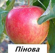 Саженцы яблони Пинова