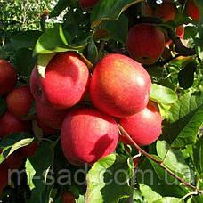 Саженцы яблони Пинова(скороплодный,сладкий), фото 2