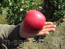 Яблоня Чемпион(крупноплодный,кисловато сладкий,осенний), фото 3