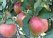 Яблоня Чемпион(крупноплодный,кисловато сладкий,осенний), фото 2