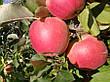 Яблоня Чемпион(крупноплодный,кисловато сладкий,осенний), фото 4
