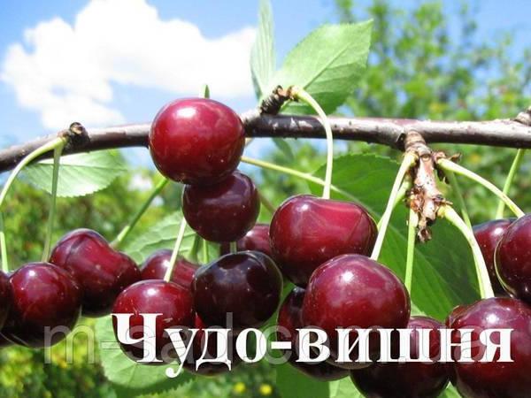 Саженцы вишни Чудо Вишня  (черешня)(ранний срок созревания)