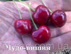 Саженцы вишни Чудо Вишня  (черешня)(ранний срок созревания), фото 2