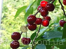 Саженцы вишни Чудо Вишня  (черешня)(ранний срок созревания), фото 3