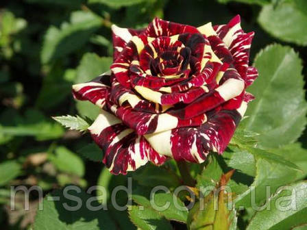 Саженцы чайно-гибридных роз Абра Кадабра, фото 2