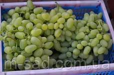 Саженцы винограда Бажена, фото 3