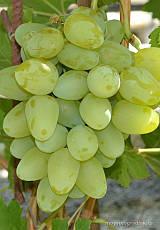 Саженцы винограда Бажена, фото 2