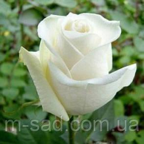 Саженцы роз Боинг, фото 2