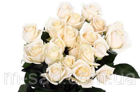 Саженцы роз Вендела, фото 2