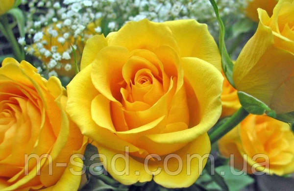 Саженцы роз Желтый Остров, фото 2
