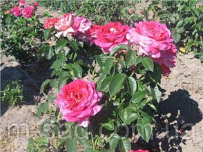 Саженцы роз Кроненбург, фото 3