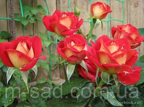 Саженцы чайно-гибридных роз Френдшип, фото 3