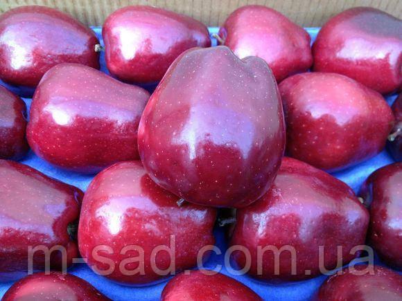 Саженцы яблони Катерина , фото 2