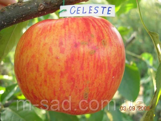 Саженцы яблони Целесте, фото 2