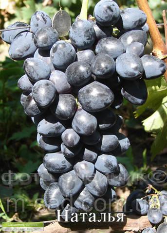 Саженцы винограда Наталья