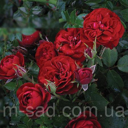 Саженцы бордюрных роз Андалусия, фото 2