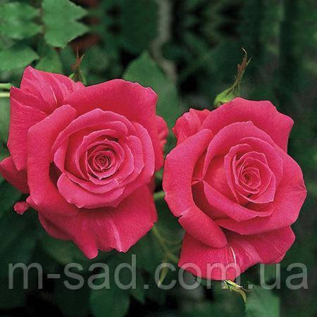 Саженцы роз Пари Матч, фото 2
