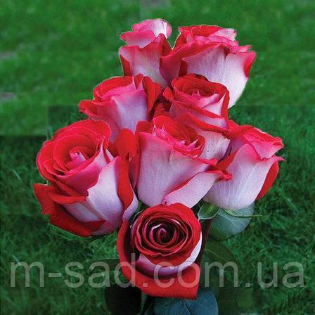 Саженцы чайно-гибридных роз Латин Леди, фото 2