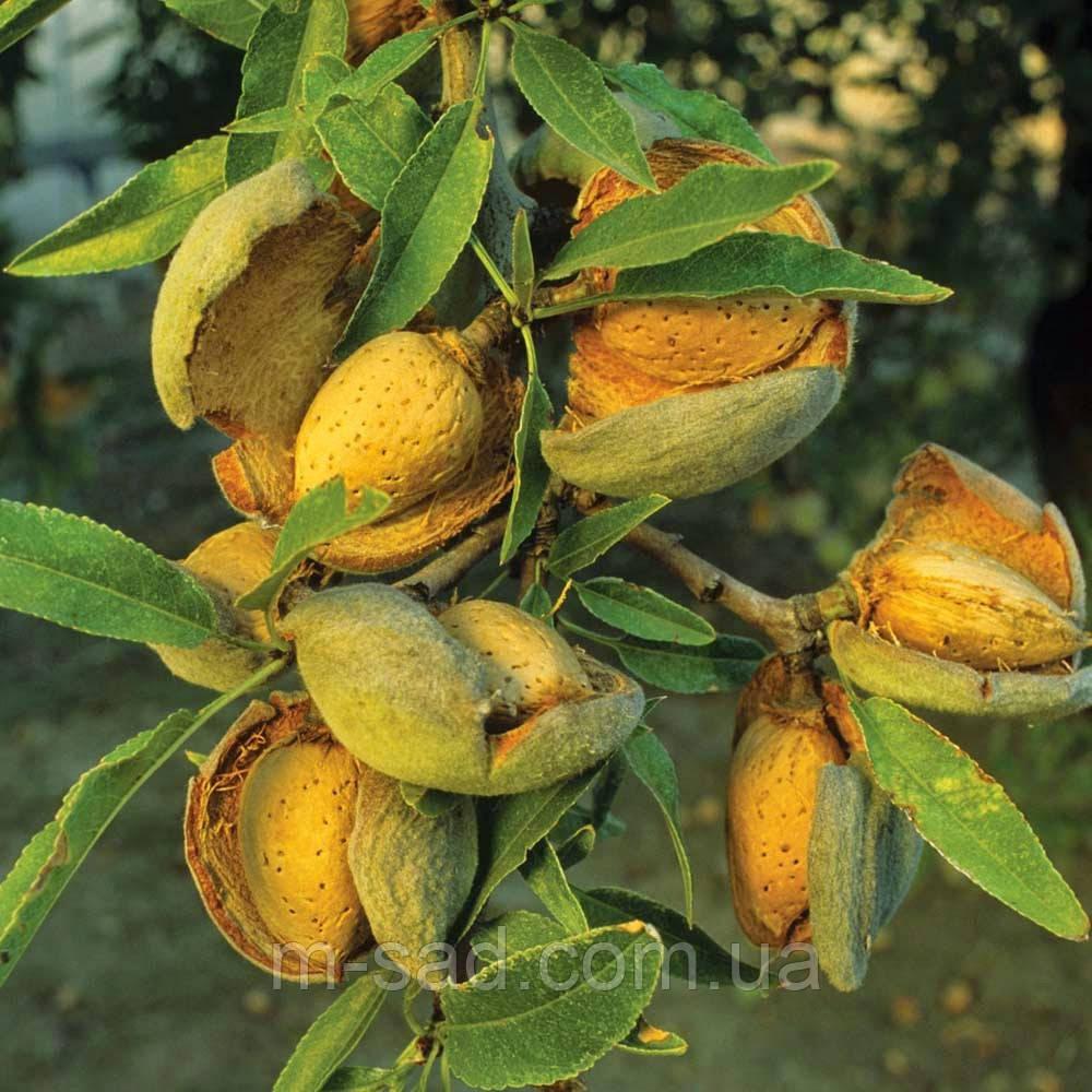 Саженцы привитого Миндаля Форос(урожайный,тонкокорый,до -30 С)